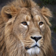 The face portrait of a calm Asian lion. The King of beasts, biggest cat of the world. The most dangerous and mighty predator of the world. Beauty of the wild nature. — Stock Photo #37526055