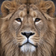 The face of an Asian lion. The King of beasts, biggest cat of the world, looking straight into the camera. The most dangerous and mighty predator of the world. Authentic beauty of the wild nature. — Stock Photo