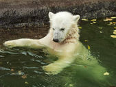 A white bear cub is enjoying in pool. Bathing of the cute and cuddly animal baby, which is going to be the most dangerous and biggest beast of the world. Careless childhood of a plush teddy. — Zdjęcie stockowe
