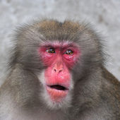 Side look of a Japanese macaque male. Expressive red face of the monkey family chief. Human like grimace of the excellent animal. Inimitable beauty of the wildlife. — Foto Stock