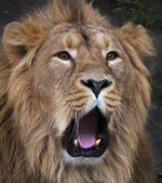 The face of a yawning Asian lion. The King of beasts, biggest cat of the world. The most dangerous and mighty predator of the world. Beauty of the wildlife. — Stock Photo