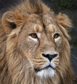 The face portrait of a calm Asian lion. The King of beasts, biggest cat of the world. The most dangerous and mighty predator of the world. Beauty of the wild nature. — Stock Photo