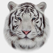 Face of a white bengal tiger, isolated on white background. Amazing mask of the biggest cat. Wild beauty of the most dangerous and mighty beast of the world. Vector image in oil painting style. — Stock Vector
