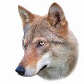 Chefen för en ung varg kvinna, isolerad på vit bakgrund. sidan face porträtt av ett farligt djur för skogen, canis lupus lupus. skönheten i djurlivet. fantastiska vektorbild som oljemålning. — Stockvektor