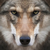 A look straight into your soul of a severe wolf female. Menacing expression of the young, two year old, european wolf, very beautiful animal and extremely dangerous beast. Amazing vector image. — Stock Vector