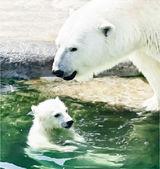 Kutup ayısı anne yavrusunu havuzda yüzme. bir kutup ayısı aile mutluluğudur. şirin dünyanın en tehlikeli hayvan. yüksek çözünürlüklü şaşırtıcı ve sıradışı noktalı vektör görüntü. — Stok Vektör
