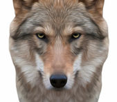 A look straight into your soul of a severe wolf female. Menacing expression of the young european wolf, very beautiful animal and extremely dangerous beast. Amazing vector image in oil painting style. — Stock Vector