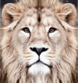 The face of an Asian lion. The King of beasts, biggest cat, looking straight into the camera. Authentic beauty of the wild nature. Unusual and amazing dotted vector image with high resolution. — Stockvector