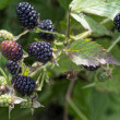 Stock Photo: Sprig of blackberries