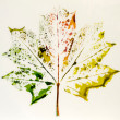 Maple leaf in different colors — Stock Photo