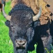 Close up of a buffalo. — Stock Photo