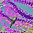 A hummingbird amid purple wisteria. — Stock Photo
