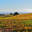 Hillside of colorful grapevines. — Stock Photo #36838799