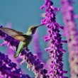 Hummingbird feeding on wisteria. — Stock Photo #38035399