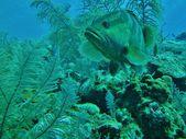 Grote grouper in het caribisch gebied. — Stockfoto