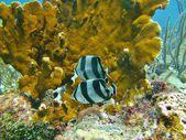 Tropical fish in the Caribbean Sea. — Foto de Stock