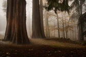 Forest with trees and fog — Stock Photo