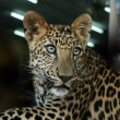 Captive leopard — Stock Photo