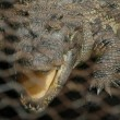 Stock Photo: Crocodile caged
