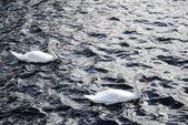 Swan at sea — Stock Photo