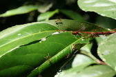 Ants eating tree leaves — Stock Photo