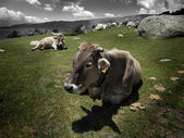 Cow resting — Stock Photo