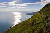 Terrace vineyard in Lavaux region, Switzerland — Stock Photo