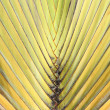Travelers Palm Tree or Ravenala madagascariensis — Stock Photo