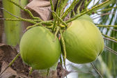 Bunch of coconuts — Stock Photo