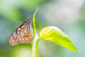 Dark Glassy Tiger butterfly — Stockfoto