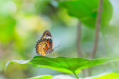 Leopard lacewing butterfly — Stock Photo