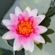 Blooming lotus flower — Stock Photo