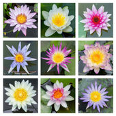 Blooming lotus flower - set 2 — Stock Photo