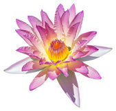 Flor de lirio o lotus de agua — Foto de Stock