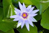 Flor de loto — Foto de Stock