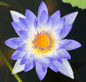 Blommande lotusblomma — Stockfoto