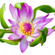 Water lily or lotus flower — 图库照片