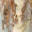 Eucalyptus tree bark — Stock Photo
