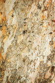 Eucalyptus tree bark — Foto Stock