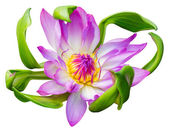 Water lily or lotus flower — Stock Photo