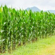 Corn plantation in Thailand — Stock Photo