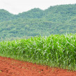 Foto Stock: Corn plantation in Thailand