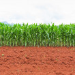 Corn plantation in Thailand — Stockfoto #31784499