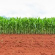 Corn plantation in Thailand — Foto de Stock