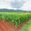 Corn plantation in Thailand — Stockfoto