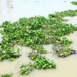 Water hyacinth in river — Stock Photo