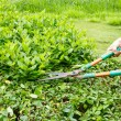 Trimming shrubs scissors — Stock Photo #31818195