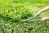 Trimming shrubs scissors — Stock Photo