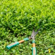 Stock Photo: Trimming shrubs scissors