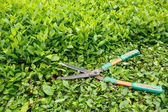 Trimming shrubs scissors — Stock Photo